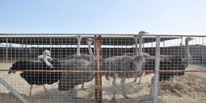 انتاج  وجبة من طيور النعام  في محطة الابحاث الاولى  التابعة لكلية الزراعة